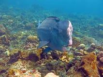 Fish Humphead Parrotfish, Bolbometopon muricatum Royalty Free Stock Photos