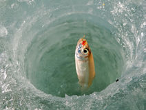 Fish on Ice 1. A winter fishing of a smelt. A close-up of a fish on hook in hole in ice. Russian Far East, Primorye Royalty Free Stock Image