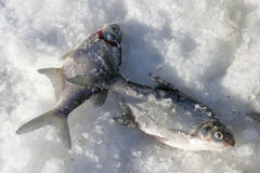 Fish on ice. Fresh fish on snow in a sunny winter day stock photography