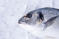 Fish with ice Royalty Free Stock Photos