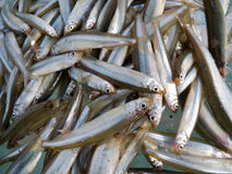 Fish on Ice. A winter fishing of a smelt. A close-up of a catch of fish on ice. Russian Far East, Primorye Royalty Free Stock Image