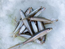Fish on Ice. A winter fishing of a smelt. A close-up of a catch of fish on ice. Russian Far East, Primorye Stock Images