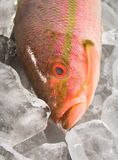 Fish on ice. Red snapper on ice stock photos