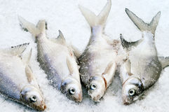 Fish on the Ice Royalty Free Stock Photography