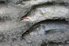 Fish in the ice Royalty Free Stock Image