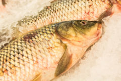 Fish on iced market display Royalty Free Stock Image