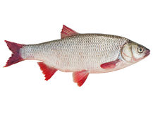 Fish an ide. On a white background Royalty Free Stock Image