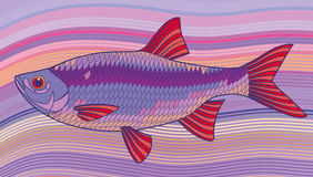 Fish  illustration. (Scardinius erythrophthalmus Royalty Free Stock Images