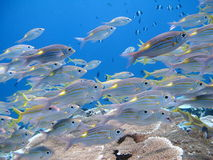 Fish in Indian ocean at Maldives Stock Photography