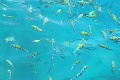 Fish(Indo-pacific sergeant)  in a tropical sea at Phi Phi island Stock Images