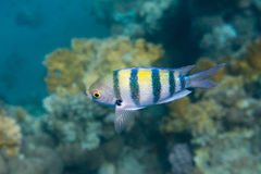 Fish Indo-pacific sergeant is under water Royalty Free Stock Image