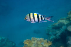 Fish Indo-pacific sergeant is under water Royalty Free Stock Photo