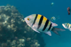 Fish Indo-pacific sergeant is under water Royalty Free Stock Images