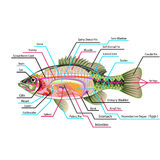 Fish internal organs Vector Art diagram Anatomy with Labels. Scientific diagram Royalty Free Stock Images