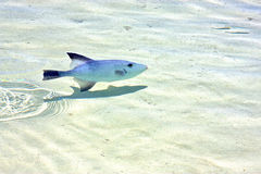 Fish   isla contoy      mexico foam  the  wave Royalty Free Stock Photography