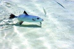 Fish   isla contoy          mexico Royalty Free Stock Photos
