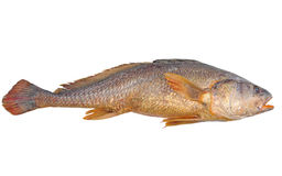 Fish Isolated Royalty Free Stock Images