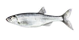 Fish isolated bleak Alburnus Stock Image
