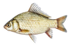 Fish isolated golden crucian with scales. Royalty Free Stock Images