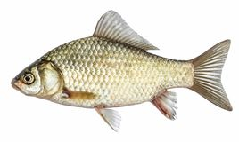 Isolated crucian carp, a kind of fish from the side. Live fish stock photo