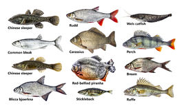 Fish isolated set, collection. Many Fish isolated set, collection royalty free stock photos