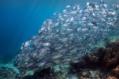 A Fish of Fish. Jacks form a giant fish at Batu Bolong. One spots the camera Stock Image