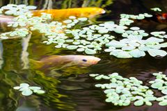 Fish japanese Koi or Carp moving in swims under aqua surface and Water lettuce.  royalty free stock images