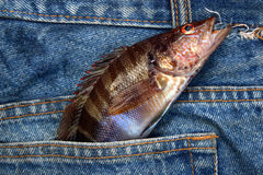Fish in a jeans pocket. stock images