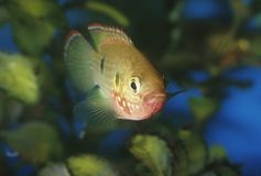 Fish jewel cichlid Hemichromis bimaculatus Royalty Free Stock Photos