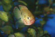 Fish jewel cichlid Hemichromis bimaculatus Royalty Free Stock Photos