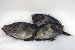 Fish John Dory Royalty Free Stock Photography