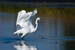 Fish Jumping in Front of a Great Egret Stock Photo