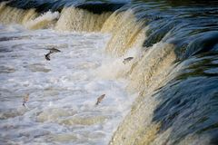 The fish is jumping up the waterfall. Water. river.n Royalty Free Stock Photo