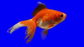 Fish keying stock footage