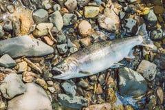 Fish killed with a gun. Fishermen poachers concept.  royalty free stock photos