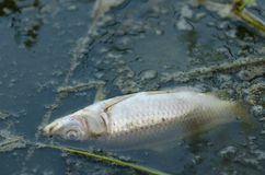 Fish killed by pollution. A fish killed by toxic run off Royalty Free Stock Photos