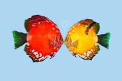 Fish kiss isolated Royalty Free Stock Photo