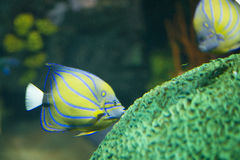 Fish kissing coral yellow and blue. Yellow and blue fish kissing green coral royalty free stock photo