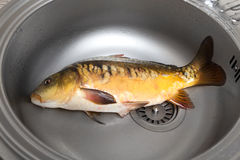 Fish In a kitchen sink Stock Images