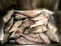 Fish in kitchen sink. Photo of perch and spot fish caught in Maryland waters in kitchen sink in preparation for cooking stock images