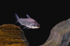 Fish known as Curimbata, Prochilodus Lineatus. Fish characteristic of having large lips Stock Photography