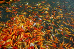 Fish. Koi Fish in a pond in Nuvali Royalty Free Stock Photography