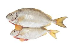 Fish Laden With Roe Stock Photo