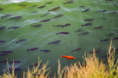 Fish in the lake stock photography