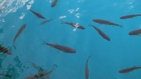 Fish in a lake stock footage