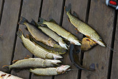 Fish in the lake. Royalty Free Stock Photos