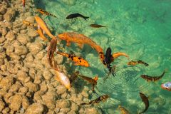 Fish in a lake royalty free stock images