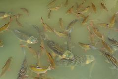 Fish in the lake Stock Image