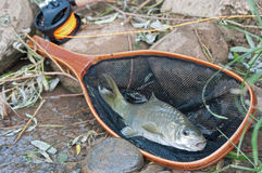 Fish in landing net. Barbel with a land net Stock Photo