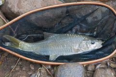 Fish in landing net Stock Image